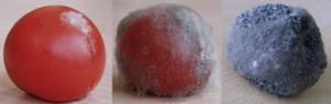 tomatequipourrit