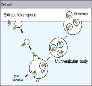 vesicules