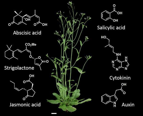 Arabido-hormones
